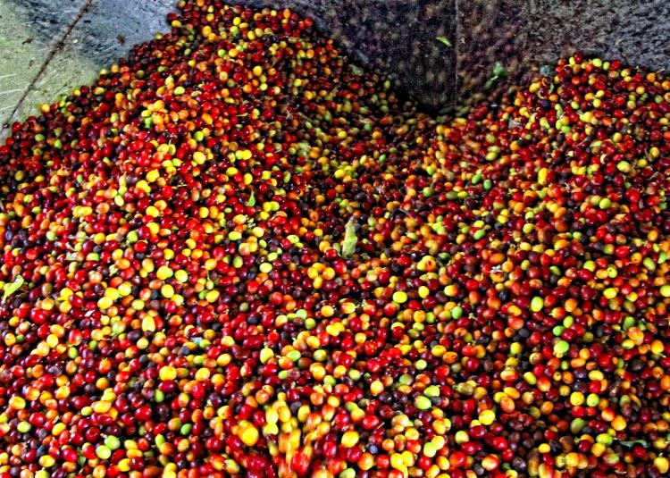 60 kg of coffee fruit