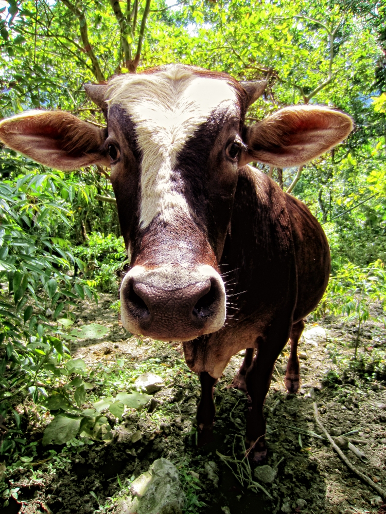 Colombian cow
